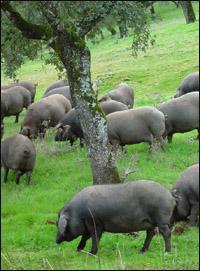 イベリコ豚放牧
