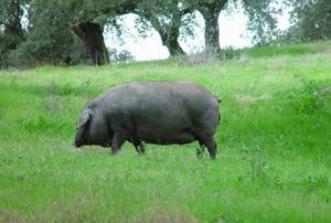 イベリコ豚放牧画像
