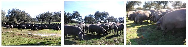 イベリコ豚接近