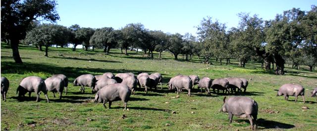 イベリコ豚放牧(モンタネラ)