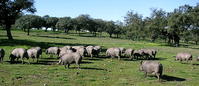 イベリコ豚の集団